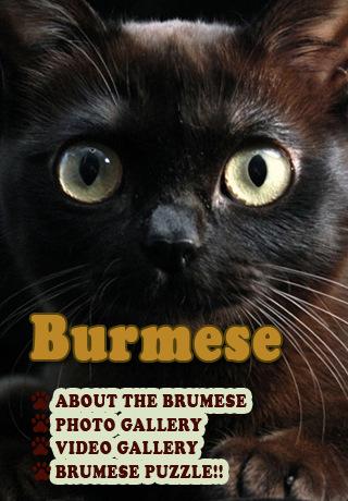 Burmese Cat burmese classic