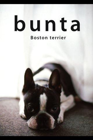 bunta ~Boston terrier~ australian terrier