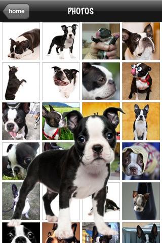 Bostons - Boston Terrier Fun australian terrier