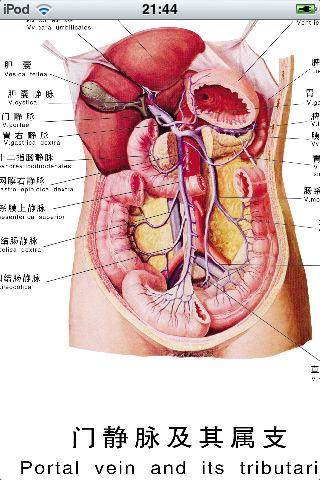 Sisäelimet Anatomia