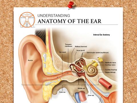Ear Anatomy anatomy of ear