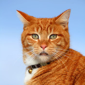Talking Ginger Tomcat