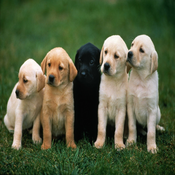 Ultimate Barking Dog Sounds - High Quality Effects, Ringtones, Alarms and Man`s Best Friend