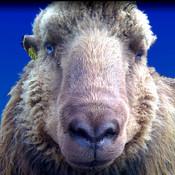 Sheep Talk