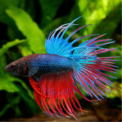 Betta Fish - Everything You Want to Know About Betta Fish breed