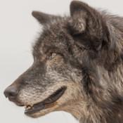 WolfApp