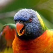 200+ Birds Ringtones - Best Sounds and Tones mad birds pursuit