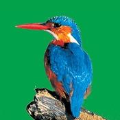 AudioZoo: Bird Songs