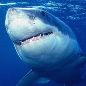 White Shark Animal Book