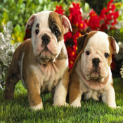 Puppies Slider Puzzles