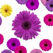 Purple Daisy Officemate