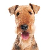 Befriending Dogs - Airedale terrier
