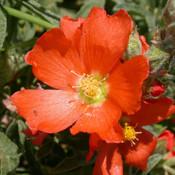 Wildflowers of North Texas