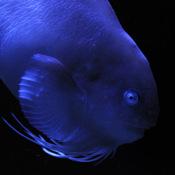 Fish in Aquamarine-FUKUSHIMA