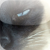 Siamese Cats - Cat Breed Series breed
