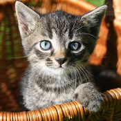 Kittens Slideshow & Wallpapers (HD) free kittens in minnesota