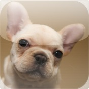 Frenchies - Cute French Bulldogs french tickler videos