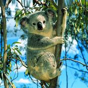 Koala Counter