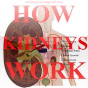 How Kidneys Work