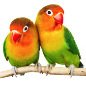 50,000+ Birds Wallpapers - Cute Birds Sideshow & HD iPhone Backgrounds mad birds pursuit
