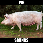 Pig Sounds and Effects