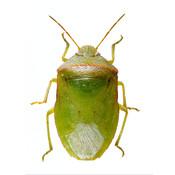 SE Agricultural Stink Bug ID agricultural