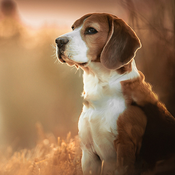 Dog Wallpapers & Backgrounds HD - Home Screen Maker with Cute Themes of Dog Breeds icon pop