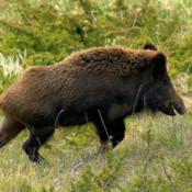 Boar Rampage