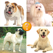 Guess Puppy Breed: Reveal Wolf Dog Breed Like Poodle & Labrador breed