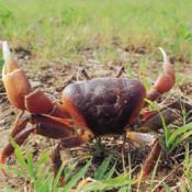 墾丁陸蟹趣 Crab Taiwan KT